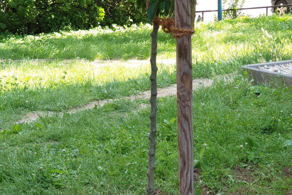 Výsadba stromov - detail na mulčovaciu kôru - CEDERS s.r.o.