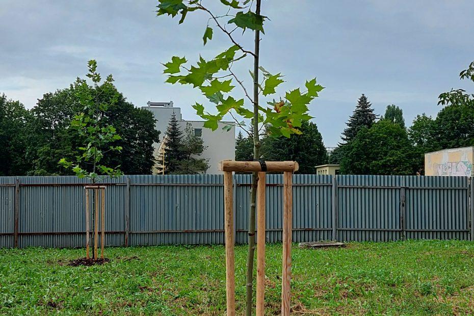 Výsadba javorov - verejná zeleň - CEDERS s.r.o.