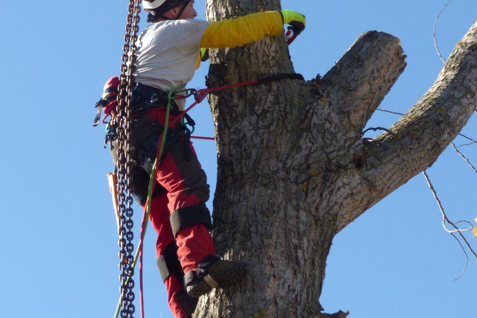 Arborista Jaroslav Kušnír pri výrube stromu vo výške s istiacou technikou
